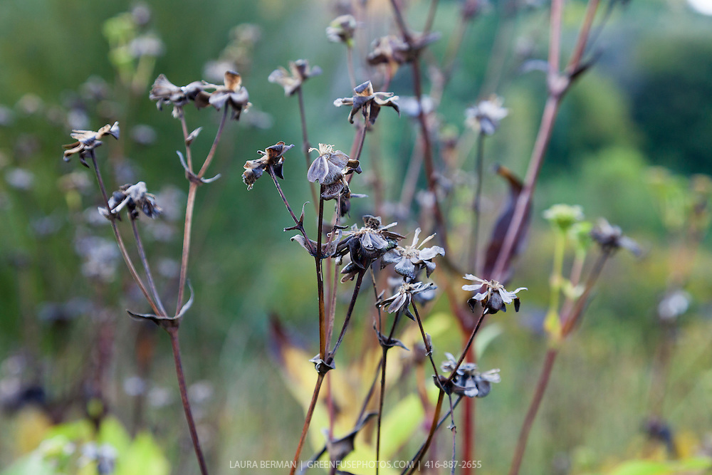 The seed heads of the Cup Plant (Silphium perfoliatum.)