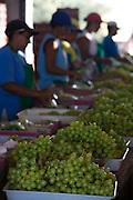 Montes Claros_MG, Brasil...Plantacao de uvas em Montes Claros, Minas Gerais...Grape crop in Montes Claros, Minas Gerais...Foto: LEO DRUMOND / NITRO