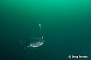 salmon shark, Lamna ditropis, seizes a bait, Port Fidalgo, Prince William Sound, Alaska, U.S.A.; this apex predator, sometimes called the Pacific porbeagle, is a mackerel shark in the order Lamniformes; it swims in cold water, but is warm-blooded ( homeothermic )