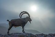 Large, Impressive Male Nubian Ibex (Capra ibex nubiana AKA Capra nubiana) Photographed in Israel, Negev Desert in September