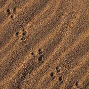 Great Sand Dunes National Monument,Tracks of Kangaroo rat cross wind rippled sand on dunes.  Colorado.