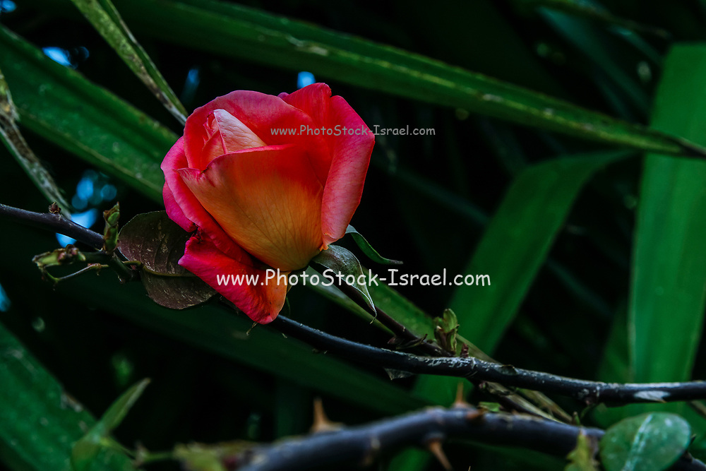 Close up of a beautiful red rose bud