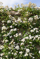 Rosa 'Wedding Day' growing on stone wall.