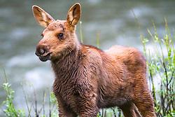 Moose Calf, Yellowstone National Park