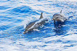 Pantropical Spotted Dolphin mother and calf, Stenella attenuata, riding boat wakes, off Kona Coast, Big Island, Hawaii, Pacific Ocean
