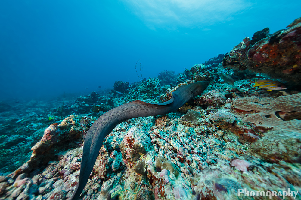 Giant spotted moray eel, Gymnothorax javanicus, free swimming across coral reef