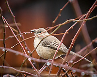 Northern Mockingbird. Backyard Winter Nature in New Jersey. Image taken with a Nikon D2xs camera and 70-200 mm f/2.8 lens (ISO 400, 200 mm, f/2.8, 1/320 sec).