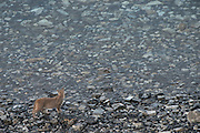 Puma cub (Felis concolor patagonica) 7 months old<br /> Lago Sarmiento<br /> Torres del Paine National Park<br /> Patagonia<br /> Magellanic region of Southern Chile