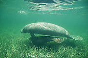 Antillean manatee or Caribbean manatee, Trichechus manatus manatus, a subspecies of the West Indian manatee or sea cow, cow and calf in seagrass bed, Belize, Central America ( Caribbean )