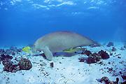 dugong or sea cow, Dugong dugon, accompanied by sharksuckers (remoras), Echeneis naucrates, & golden pilot jacks, Gnathanodon speciosus, Coral Bay, Western Australia ( Indian Ocean )