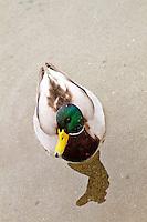 Mallard duck - vertical