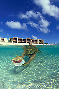 snorkeler finds conch shell in<br /> front of Kittina Beach Hotel,<br /> Grand Turk, Turks & Caicos Islands,<br /> ( Western Atlantic Ocean )  MR 44