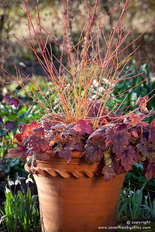 Winter pot combination with Cornus sanguinea 'Midwinter Fire' and × Heucherella 'Sweet Tea'