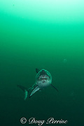 salmon shark, Lamna ditropis, Port Fidalgo, Prince William Sound, Alaska, U.S.A.; this apex predator, sometimes called the Pacific porbeagle, is a mackerel shark in the order Lamniformes; it swims in cold water, but is warm-blooded ( homeothermic )