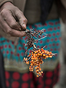 Rehana picking Sea Buckthorn berries, know for their anti-cancerous faculties. In winter, the frozen berries are usually picked, as it is then easier to handle.  In Shimshal, one of the remotest village in the Karakoram mountains, and the highest settlement in the Hunza and Gojal region.
