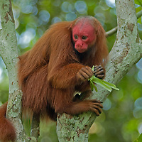 """""""Chavo,"""" an endangered Red-Faced Huacary, perches in a tree at Pilpintuwasi Butterfly Farm and Amazon Animal Orphange near Iquitos, Peru."""