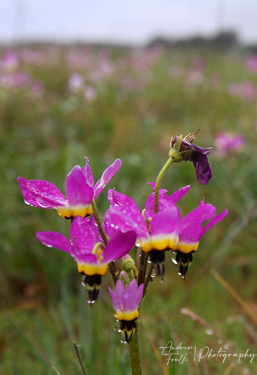 Photo by www.andrewfoulkphotography.com Shooting star flowers are some of the first wildflowers to bloom on the Santa Rosa Plateau Ecological Reserve. With minimal rain fall this year the wildflower bloom on the plateau is expected to be smaller than past years.