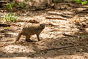 Banded mongoose (Mungos mungo) digging for insects. The banded mongoose is found throughout sub-Saharan Africa, inhabiting grassland, woodland and rocky country. The banded mongoose is a social creature, living in groups of up to 20 individuals. The groups are nomadic, rarely staying in one location for more than a week. Their dens are usually created from modified termite or aardvark holes, but they do occasionally dig their own. The banded mongoose feeds mainly on insects but will also take rodents, frogs and berries. They are also skilled snake hunters. Photographed at Lake Manyara, Tanzania in April