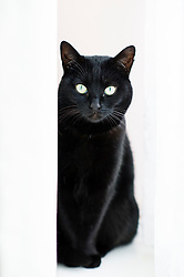 Black cat sat on a window sill between the folds of a white curtain, Leicester, England, UK.