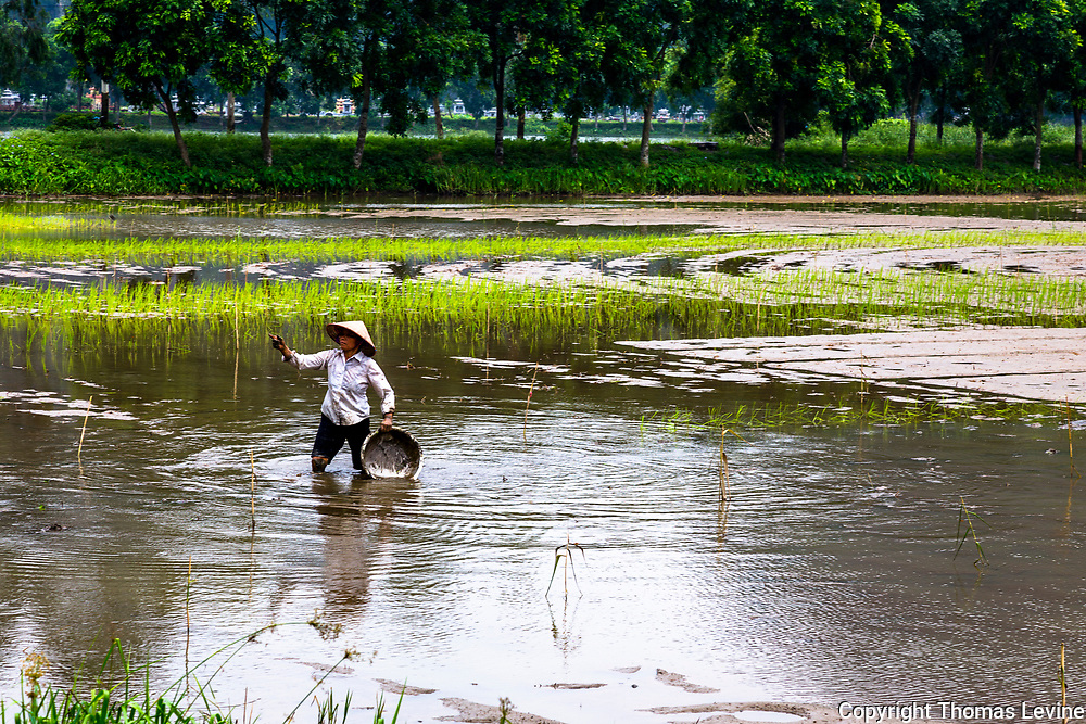 Asian lady in her flooded rice fields planting for the season.