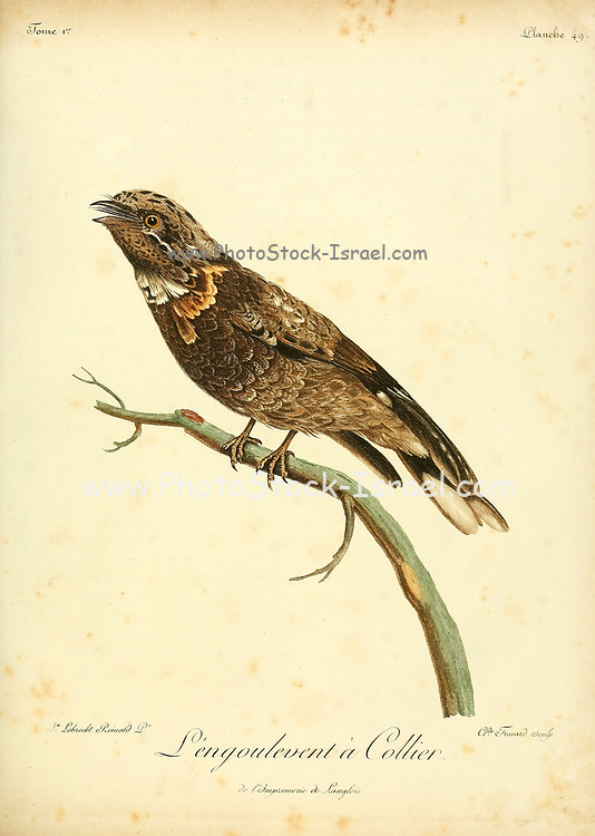 Engoulevent à collier or The red-necked nightjar (Caprimulgus ruficollis) is the largest of the nightjars occurring in Europe. It breeds in Iberia and north Africa, and winters in tropical west Africa. Bird of Prey from the Book Histoire naturelle des oiseaux d'Afrique [Natural History of birds of Africa] Volume 1, by Le Vaillant, François, 1753-1824; Publish in Paris by Chez J.J. Fuchs, libraire 1799