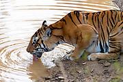 "The Bengal Tigress known as ""Chhoti Mada"" (born 2008) drinking in Kana National Park (Mukki range), Madhya Pradesh, India. Photo from February 2019."