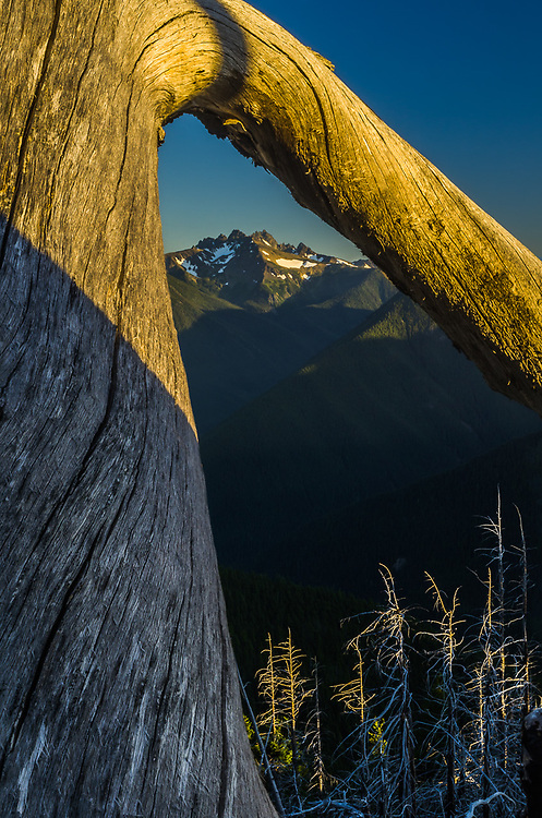 Graywolf Ridge viewed through a weathered tree,, evening light, August, view from Deer Park, Olympic National Park, Clallam County, Washington, USA