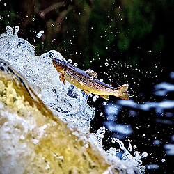 Trout at the River Carron 13th Aug 2020