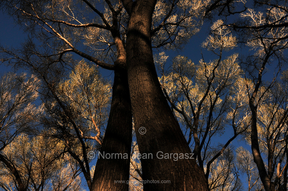 Cottonwood trees grow in the Empire Gulch in the Empire-Cienega Resource Conservation Area, a riparian area in the grasslands of southern Arizona, USA, north of Sonoita.