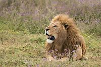 A male Lion, Panthera leo  melanochaita, in Ngorongoro Crater, Ngorongoro Conservation Area, Tanzania