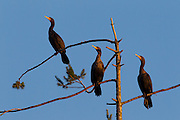 Three double-crested cormorants (Phalacrocorax auritus) roost together over the Snohomish River in Kenmore, Washington. Most types of cormorants are found only along the coast; the double-crested cormorant is typically the only one found very far inland.