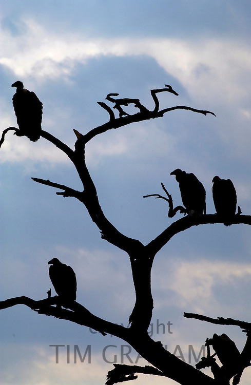 Flock of vultures roosting in trees, Grumeti, Tanzania, East Africa RESERVED USE - NOT FOR DOWNLOAD -  FOR USE CONTACT TIM GRAHAM