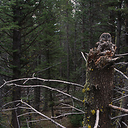 Adult great gray owl on nest with chicks on top of broken tree trunk in Montana.