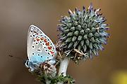 butterfly Polyommatus icarus on a Echinops adenocaulon, Israel April 2004