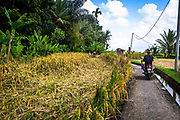 Motorcycle on a path next to an irrigation ditch and rice field that has been harvested.