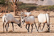 Israel, Aravah, The Yotvata Hai-Bar Nature Reserve breeding and reacclimation centre. A breeding herd of Arabian Oryx (Oryx leucoryx) (or White Oryx)