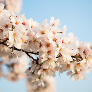 A close-up of some white cherry blossoms on the Tidal Basin in Washington DC. The Yoshino Cherry Blossom trees lining the Tidal Basin in Washington DC bloom each early spring. Some of the original trees from the original planting 100 years ago (in 2012) are still alive and flowering. Because of heatwave conditions extending across much of the North American continent and an unusually warm winter in the Washington DC region, the 2012 peak bloom came earlier than usual.