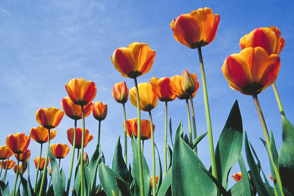 United States, Washington, La Conner, tulips in field before harvest, viewed from below