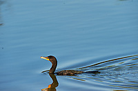 Double-crested Cormorant (Phalacrocorax auritus). Fort De Soto County Park. St. Petersburg, Florida. Image taken with a Nikon D3 camera and 500 mm f/4 VR lens.