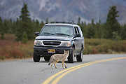 Coyote stops traffic crossing the road in Denali National Park