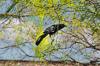 Also known as the Mexican grackle, the great-tailed grackle is a member of the new world blackbird family (Icteridae) and is very common from the American Great Plains, the American Southwest and all of Mexico south to also include all of Central America. This glossy blue/black male was first noticed making an awful commotion with a number of other males and females in a tree in rural Van Horn, Texas.