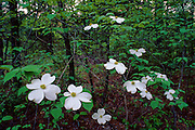 Dogwood trees in bloom in spring - Mississippi.