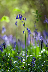 Bluebells growing wild in a wood. Hyacinthoides non-scripta