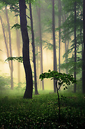 Misty beech forest at springtime