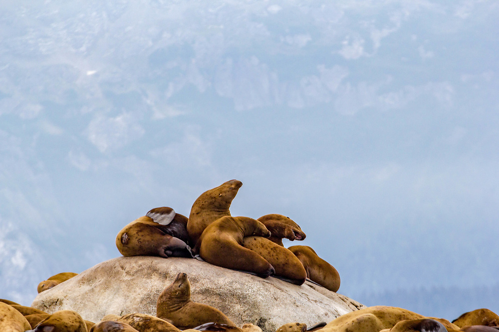 There is usually a constant murmur but occasionally the conversations become a roar around the sea lions. South Marble Island Glacier Bay, Alaska.