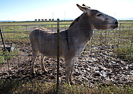 Donkey  across from a fracking industy site in the Permain Basin in Texas.