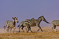 A herd of zebra running, Amboseli National Park, Kenya