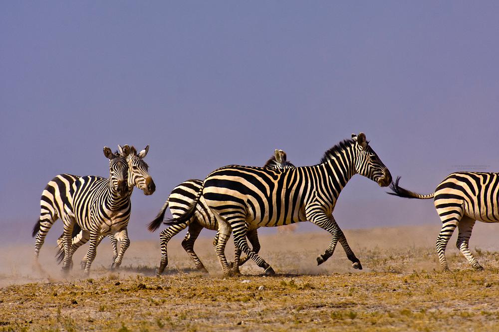 A herd of zebra running, Amboseli National Park, Kenya