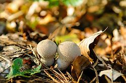 Parelstuifzwam, Lycoperdon perlatum