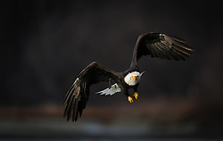 A bald eagle (Haliaeetus leucocephalus) flies above the Chilkat River in the Alaska Chilkat Bald Eagle Preserve near Haines, Alaska. During late fall, bald eagles congregate along the Chilkat River to feed on salmon. This gathering of bald eagles in the Alaska Chilkat Bald Eagle Preserve is believed to be one of the largest gatherings of bald eagles in the world.